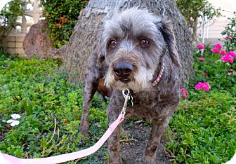 Poodle (Standard) Mix Dog for adoption in Los Angeles, California - Marla