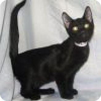 Domestic Shorthair Cat for adoption in Powell, Ohio - Garrick