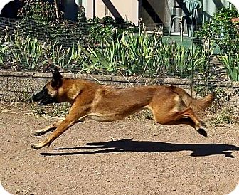 Belgian Malinois Dog for adoption in Wattertown, Massachusetts - Keeley
