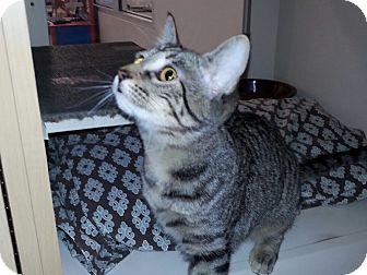Domestic Shorthair Cat for adoption in Yukon, Oklahoma - Sissy & Tigger
