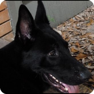 German Shepherd Dog Dog for adoption in Houston, Texas - Jetstar