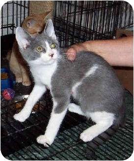 Domestic Shorthair Kitten for adoption in Blackstone, Virginia - Aggie