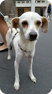 Italian Greyhound/Chihuahua Mix Dog for adoption in West Simsbury, Connecticut - Jubilant Joyce