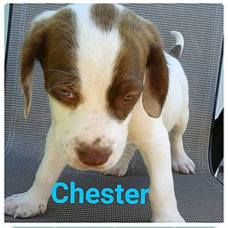 Hound (Unknown Type)/Labrador Retriever Mix Puppy for adoption in Huntington, Indiana - Chester