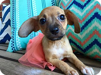 Chihuahua Mix Puppy for adoption in Foster, Rhode Island - Miss Charlotte (rbf)