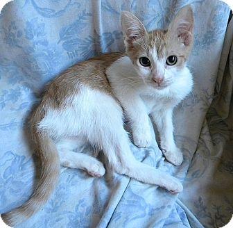 Domestic Shorthair Cat for adoption in Tampa, Florida - Jacki