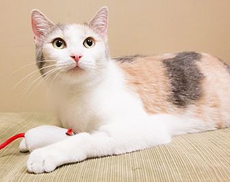 Domestic Shorthair Cat for adoption in Chicago, Illinois - Penelope Wilton