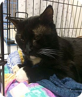 Domestic Shorthair Cat for adoption in Acushnet, Massachusetts - Reptar