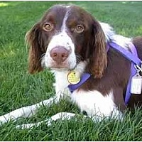 Adopt A Pet :: Brittany Dogs - Adopted but - Buffalo, NY