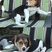 Adopt A Pet :: June Bugs Bob - Chantilly, VA