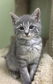 Domestic Mediumhair Cat for adoption in Knoxville, Tennessee - Beowulf
