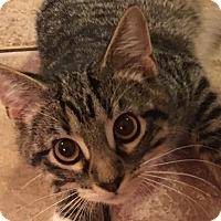 Adopt A Pet :: Ashby - St. Louis, MO