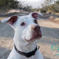 Adopt A Pet :: FLACA - Camarillo, CA