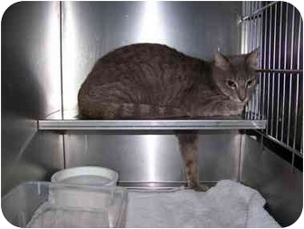Domestic Shorthair Cat for adoption in Syracuse, New York - Surfer