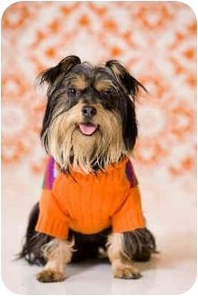 Silky Terrier Dog for adoption in Portland, Oregon - Silkee