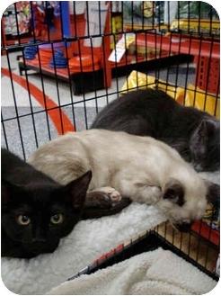 Siamese Kitten for adoption in San Dimas, California - Siamese Kitten