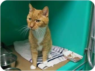 Domestic Shorthair Cat for adoption in Secaucus, New Jersey - Paddy