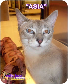 Siamese Cat for adoption in Cedar Creek, Texas - Asia