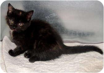 Domestic Shorthair Kitten for adoption in Chetek, Wisconsin - Allie