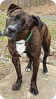 American Pit Bull Terrier Mix Dog for adoption in Carmel, New York - Diesel