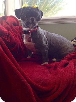 Shih Tzu Dog for adoption in Whittier, California - Abbey