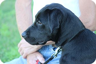 Labrador Retriever Dog for adoption in Waterbury, Connecticut - Dixie