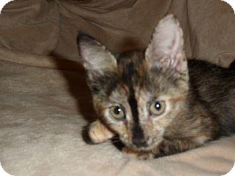 Domestic Shorthair Kitten for adoption in Norwich, New York - Sadie