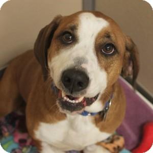 Basset Hound/American Bulldog Mix Dog for adoption in Naperville, Illinois - Delio