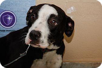 Labrador Retriever Mix Dog for adoption in Brooklyn, New York - Regal Ray