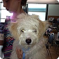 Adopt A Pet :: Tony - North Hollywood, CA