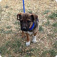 Adopt A Pet :: Chocolate - Westminster, CO