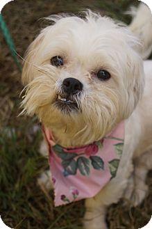 Maltese/Shih Tzu Mix Dog for adoption in Newark, Delaware - Matilda Jane