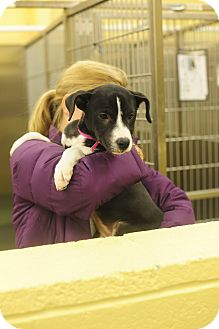 Labrador Retriever Mix Puppy for adoption in Chicago, Illinois - Grace