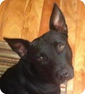 Shepherd (Unknown Type)/Pit Bull Terrier Mix Dog for adoption in Memphis, Tennessee - Shelby