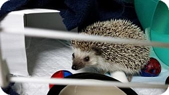Hedgehog for adoption in Benbrook, Texas - Flynn
