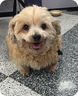 Cockapoo Mix Dog for adoption in Tucson, Arizona - Ruby