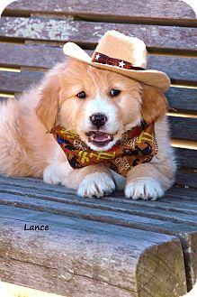 Golden Retriever/Labrador Retriever Mix Puppy for adoption in East Hartford, Connecticut - Lance Adoption pending