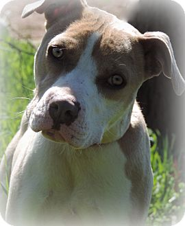 Pit Bull Terrier Mix Dog for adoption in Anderson, South Carolina - Caroline