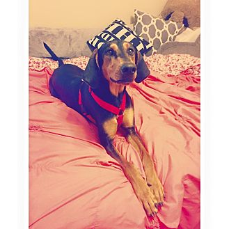 Doberman Pinscher/Black and Tan Coonhound Mix Dog for adoption in Murphysboro, Illinois - Tesla
