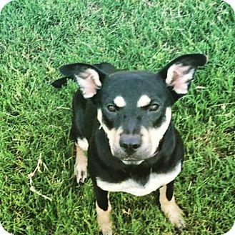 German Shepherd Dog Mix Dog for adoption in Chicago, Illinois - Gracie