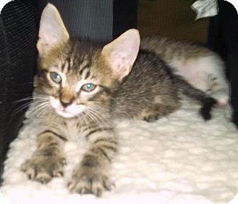 Domestic Mediumhair Kitten for adoption in New York, New York - Tuffy