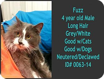 Domestic Longhair Cat for adoption in Greenville, Kentucky - Fuzz