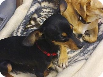 Dachshund/Chihuahua Mix Dog for adoption in Knoxville, Iowa - Peanut