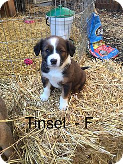 Shepherd (Unknown Type)/Husky Mix Puppy for adoption in Media, Pennsylvania - **Holiday Puppy** Tinsel