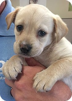 Hound (Unknown Type) Mix Puppy for adoption in Wilmington, Delaware - Cream