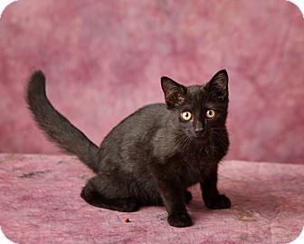 Domestic Shorthair Kitten for adoption in Harrisonburg, Virginia - Irusan