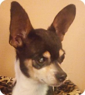 Chihuahua Mix Dog for adoption in Hagerstown, Maryland - Little Man