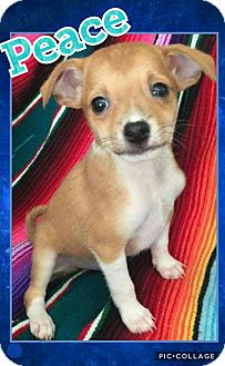 Chihuahua/Terrier (Unknown Type, Small) Mix Puppy for adoption in Scottsdale, Arizona - Peace