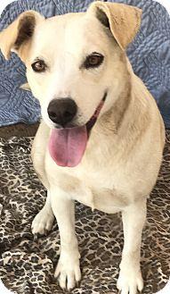 Australian Shepherd/Labrador Retriever Mix Dog for adoption in East Hartford, Connecticut - Minnie