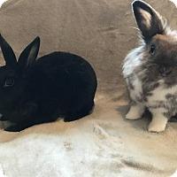 Adopt A Pet :: Lindy - Columbus, OH